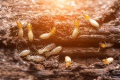 термиты или белые муравьи стоковое изображение