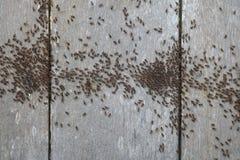 Термит идя на деревянный пол Стоковые Изображения