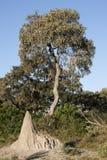 термит насыпи Ботсваны Стоковая Фотография RF