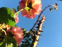 Тернии и розы с голубым небом стоковые изображения rf
