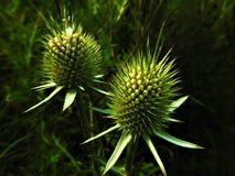 Тернии около к цветку Стоковое Изображение RF