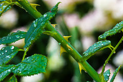 Тернии роз Стоковое Изображение