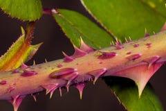 Тернии роз Стоковое Фото