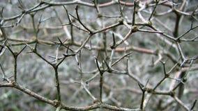 терний детали ветви Стоковая Фотография RF