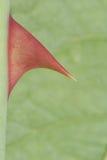 терний крупного плана розовый Стоковая Фотография RF