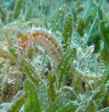 Терновый морской конек Стоковые Фото