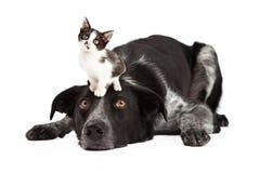 Терпеливая Коллиа границы с маленьким котенком на голове Стоковая Фотография