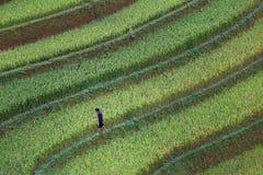 Терраса риса в Вьетнаме Стоковое Изображение