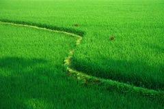 терраса риса Индии поля свежая зеленая стоковое фото