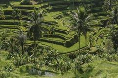 Терраса риса с пальмами Стоковая Фотография