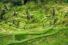 терраса риса Стоковая Фотография