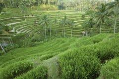 Терраса риса Tegalalang, Бали, Индонезия Стоковое фото RF