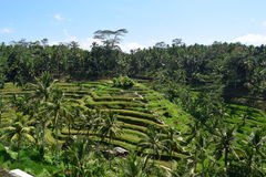 Терраса риса Tegalalang в утре Стоковые Фото