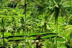 Терраса риса Tegalalang в Ubud, Бали, Индонезии Стоковое Изображение
