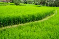Терраса риса Tegalalang в Ubud, Бали, Индонезии Стоковая Фотография