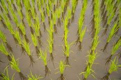 Террасная предпосылка текстуры поля риса Стоковое фото RF