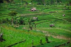 Террасные поля риса. Бали, Индонезия. стоковая фотография rf