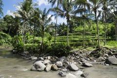 Террасные ricefields перед рекой, террасы Sayan, Ubud, Бали, Индонезия Стоковые Изображения RF