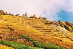 Террасы виноградника в осени Стоковая Фотография