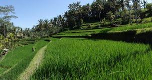 Террасы и пальмы риса bali Индонесия стоковые изображения rf