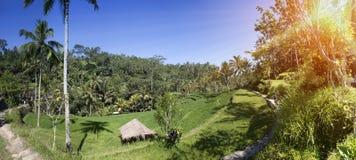 Террасы и пальмы риса bali Индонесия стоковая фотография rf