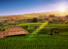 Террасы и пальмы риса bali Индонесия стоковое изображение rf