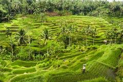Террасы риса Бали Стоковая Фотография