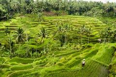 Террасы риса Бали Стоковое Изображение