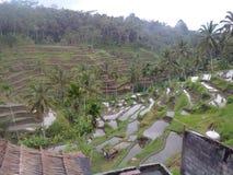 Террасы риса в Индонезии Стоковое Изображение RF