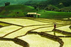 Террасы риса в Таиланде Стоковые Фото