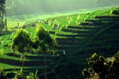 Террасы риса в Ява Стоковая Фотография