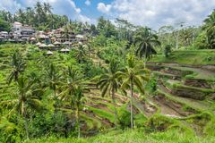 Террасы риса деревни Tegallalang в Бали, Ubud стоковое изображение rf