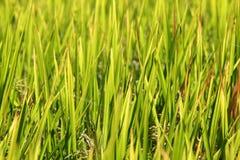 Террасы риса, Чиангмай, Таиланд Стоковое Изображение RF