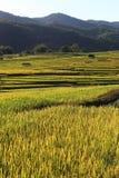 Террасы риса, Чиангмай, Таиланд Стоковое Фото
