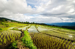 Террасы риса Стоковые Изображения RF