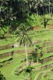 террасы риса bali Индонесии Стоковое Изображение RF