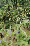 террасы риса bali Индонесии Стоковая Фотография