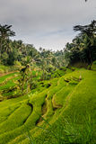 Террасы риса Cekin/Tegalalang Стоковое фото RF