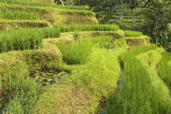Террасы риса Jatiluwih в Бали, Индонезии Стоковая Фотография RF