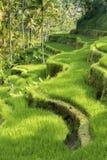 Террасы риса Jatiluwih в Бали, Индонезии Стоковые Изображения RF