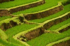террасы риса jatiluwih bali Стоковая Фотография