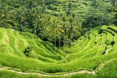 Террасы риса Tegallalang в Бали, Индонезии стоковая фотография