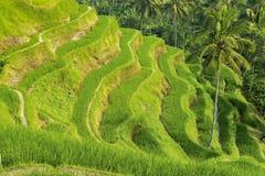 Террасы риса Tegallalang в Бали, Индонезии Стоковое Фото