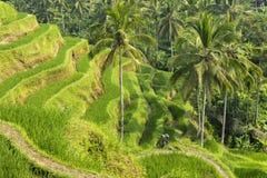 Террасы риса Tegallalang в Бали, Индонезии Стоковое Изображение