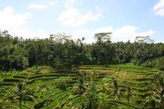 Террасы риса Tegallalang в Ubud, Бали, Индонезии Стоковые Изображения RF