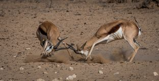 Территориальный конфликт, 2 штосселя Springbuck принимает на один другое Стоковые Изображения