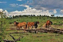 Территория дикой лошади Heber, национальные леса апаша Sitgreaves, Аризона, Соединенные Штаты Стоковое Изображение