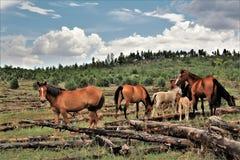 Территория дикой лошади Heber, национальные леса апаша Sitgreaves, Аризона, Соединенные Штаты Стоковое Изображение RF