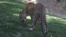 Территория маркировки леопарда с мочой 4k акции видеоматериалы