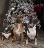 3 терьера быка перед рождественской елкой Стоковые Фото